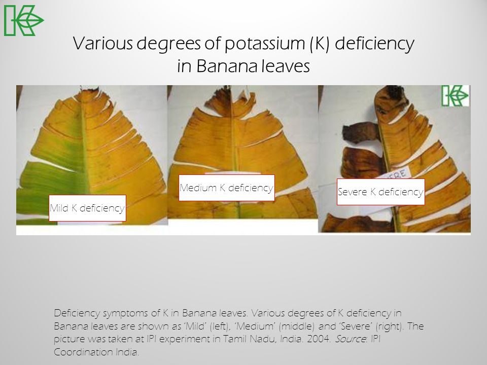 Various degrees of potassium (K) deficiency in Banana leaves