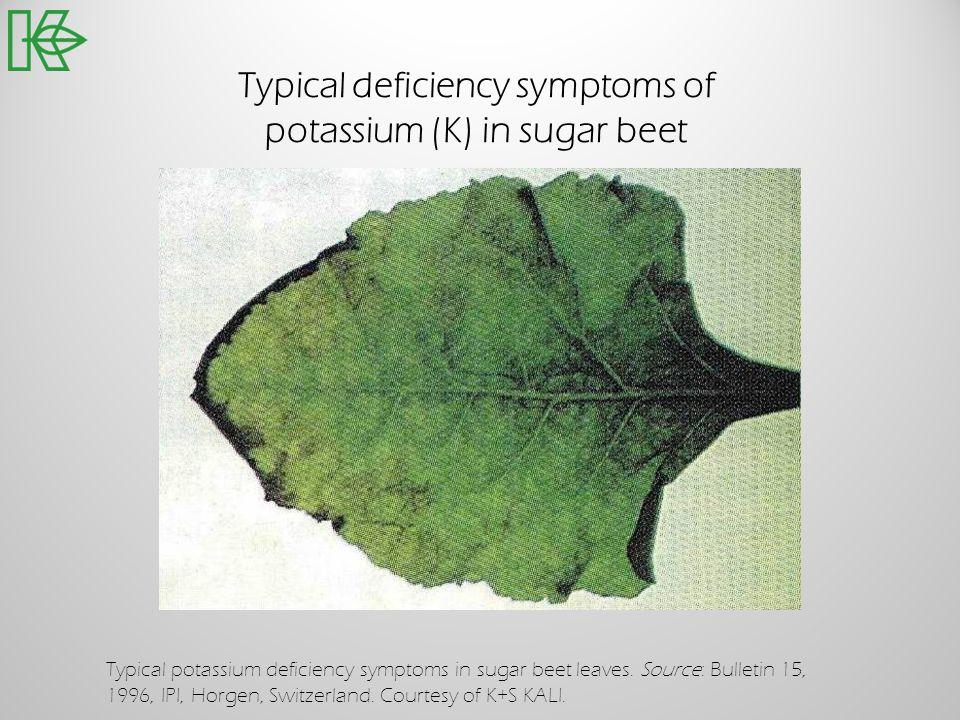 Typical deficiency symptoms of potassium (K) in sugar beet