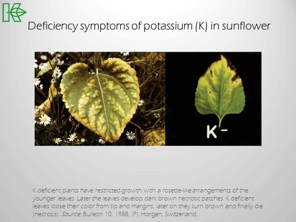 Deficiency symptoms of potassium (K) in sunflower