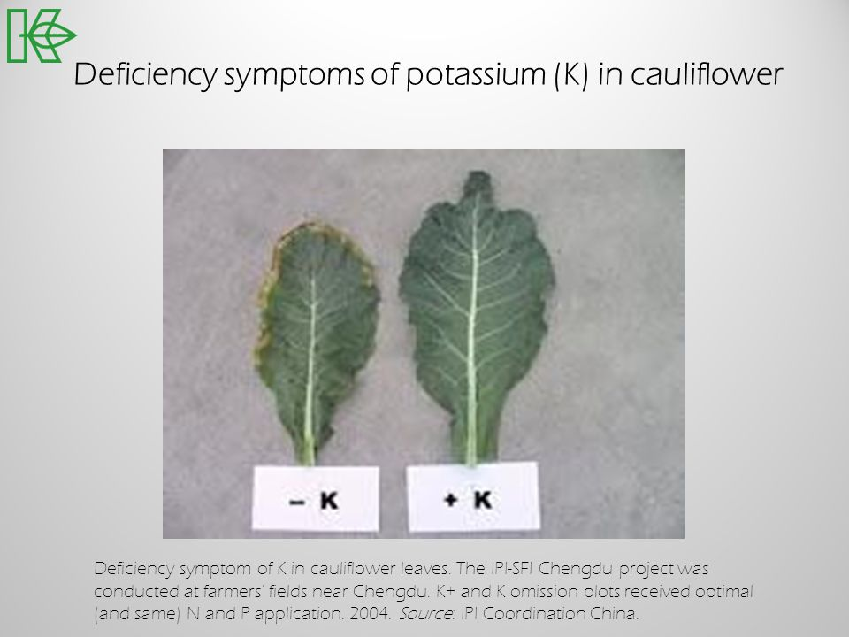Deficiency symptoms of potassium (K) in cauliflower