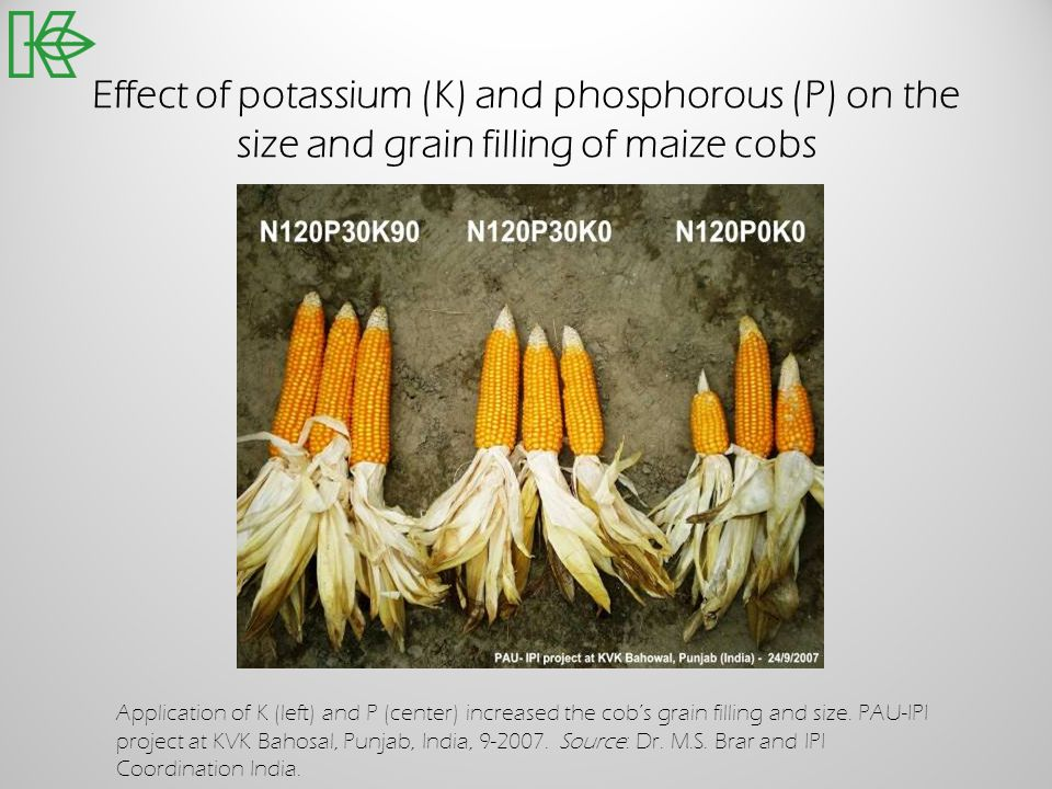 Effect of potassium (K) and phosphorous (P) on the size and grain filling of maize cobs