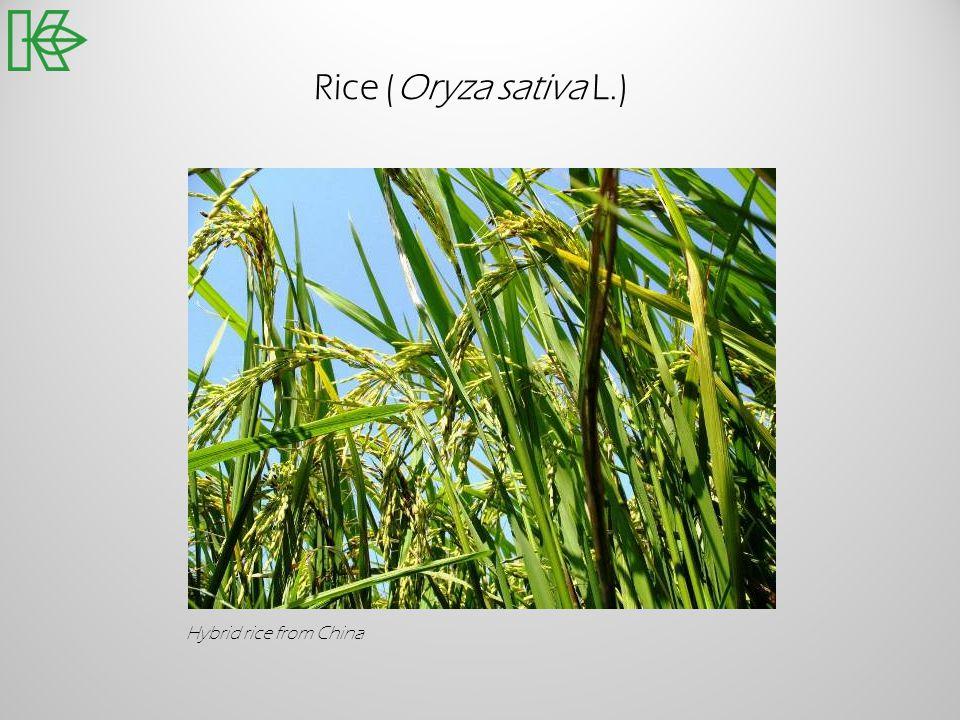 Rice (Oryza sativa L.) Hybrid rice from China