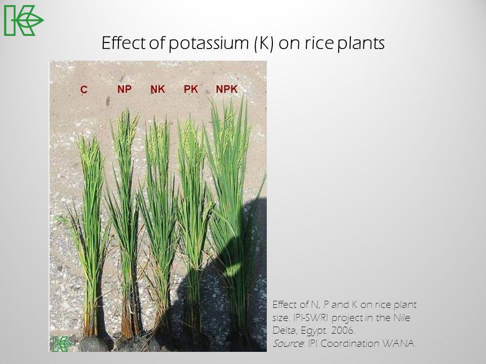 Effect of potassium (K) on rice plants