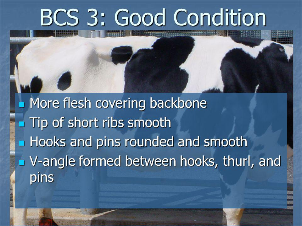 BCS 3: Good Condition More flesh covering backbone