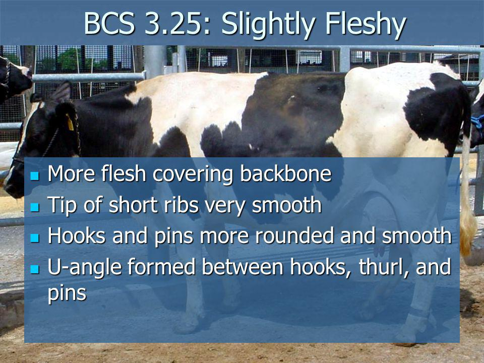 BCS 3.25: Slightly Fleshy More flesh covering backbone