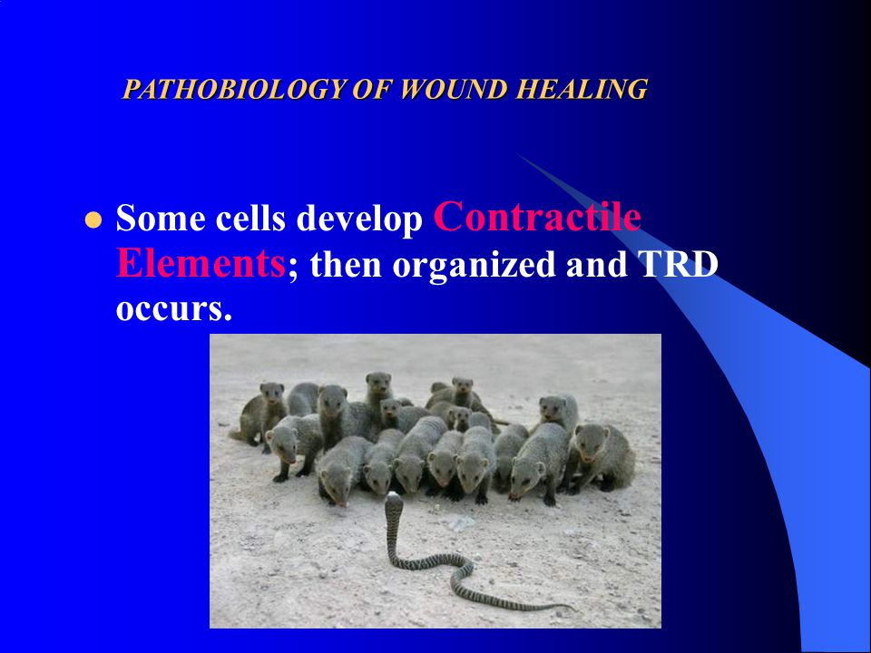PATHOBIOLOGY OF WOUND HEALING