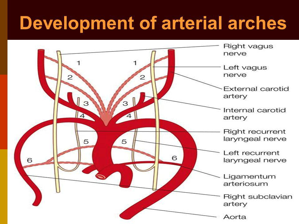 Development of arterial arches