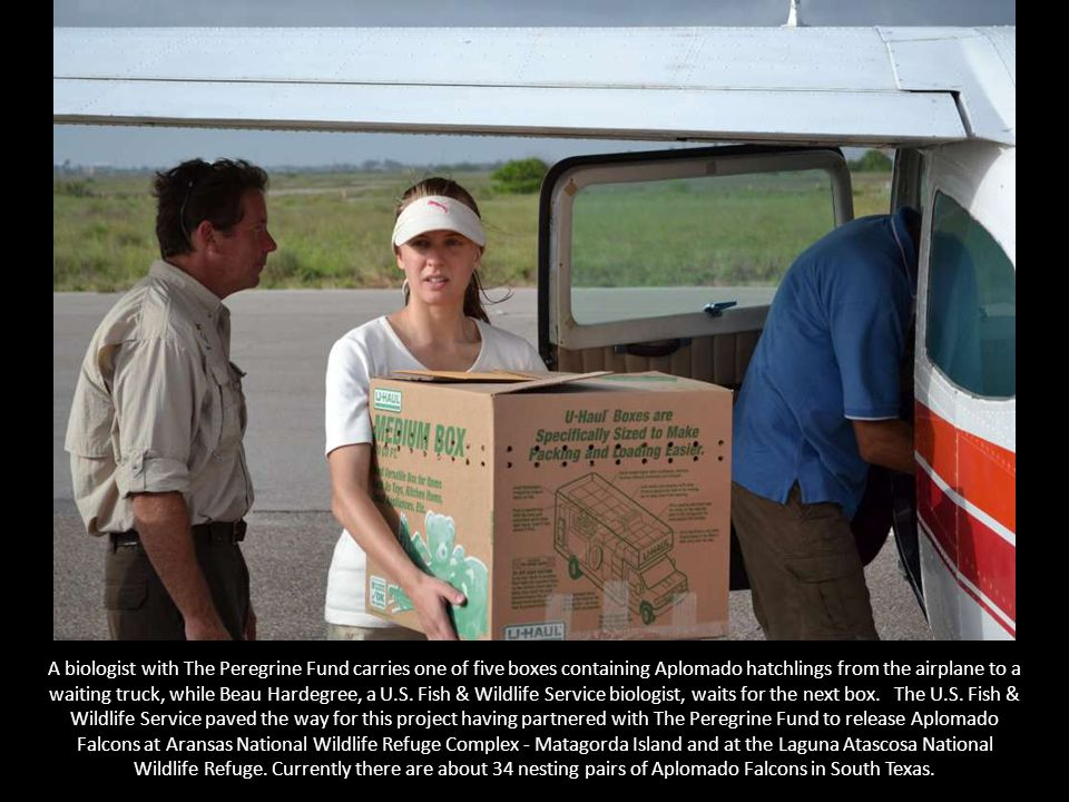 A biologist with The Peregrine Fund carries one of five boxes containing Aplomado hatchlings from the airplane to a waiting truck, while Beau Hardegree, a U.S.