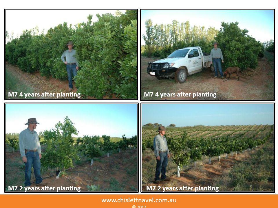 M7 4 years after planting M7 4 years after planting
