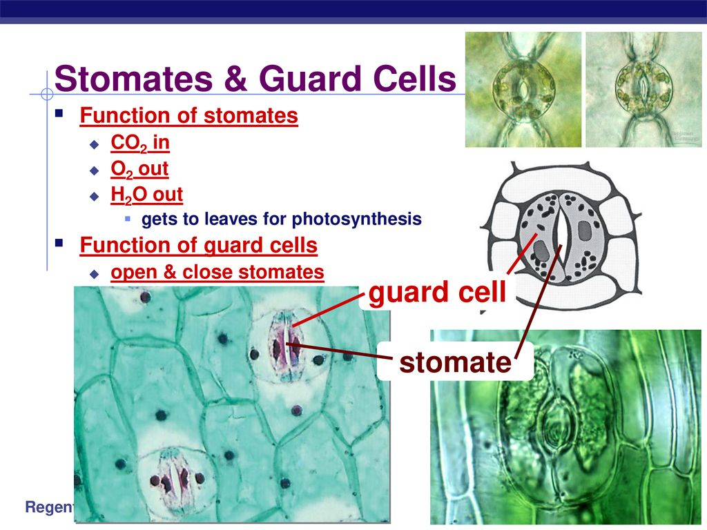 Stomates & Guard Cells guard cell stomate Function of stomates