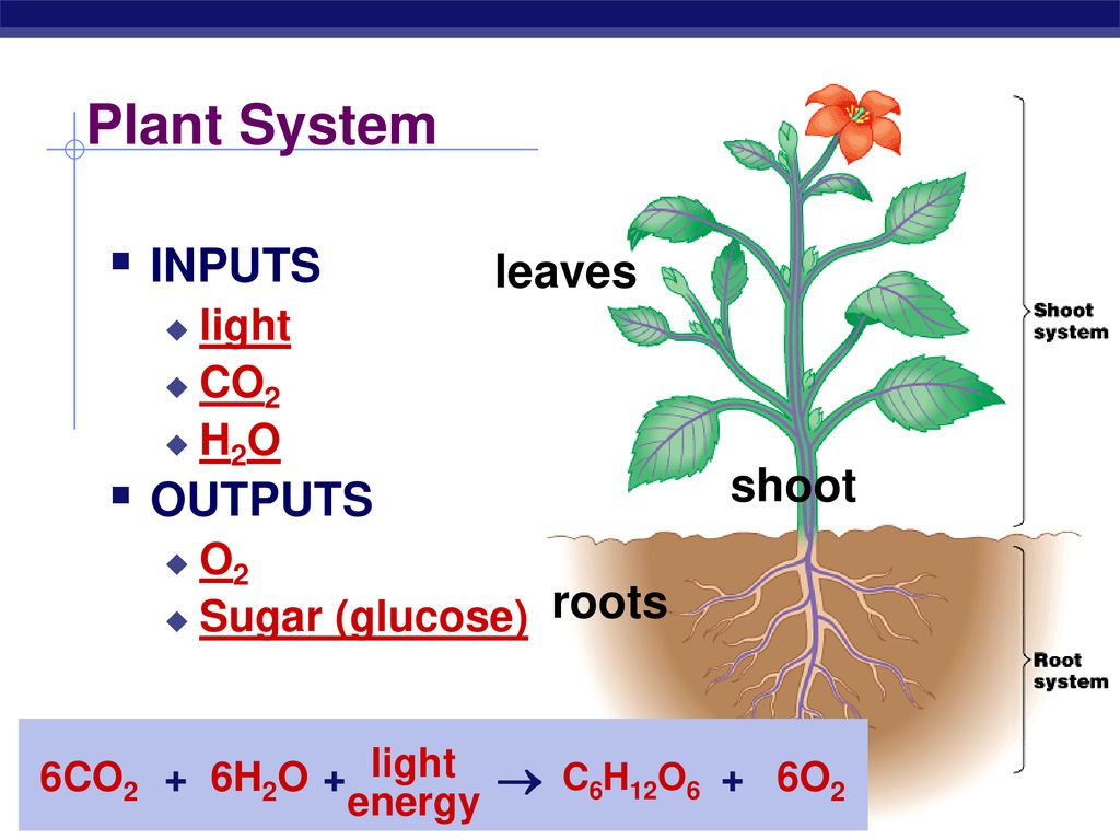 Plant System INPUTS OUTPUTS leaves shoot roots  light CO2 H2O O2