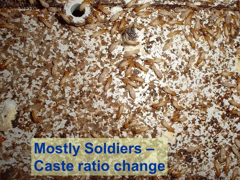 Mostly Soldiers – Caste ratio change Week 4