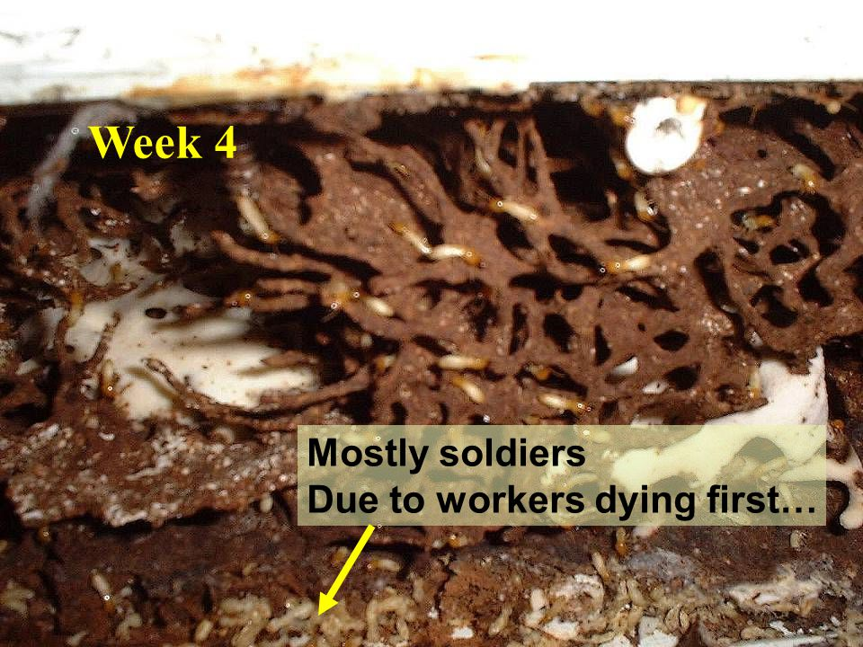 Week 4 Mostly soldiers Due to workers dying first…