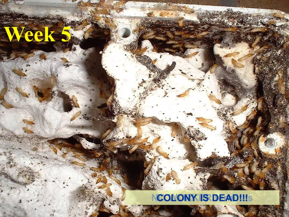 Week 5 NO WORKER termites COLONY IS DEAD!!!