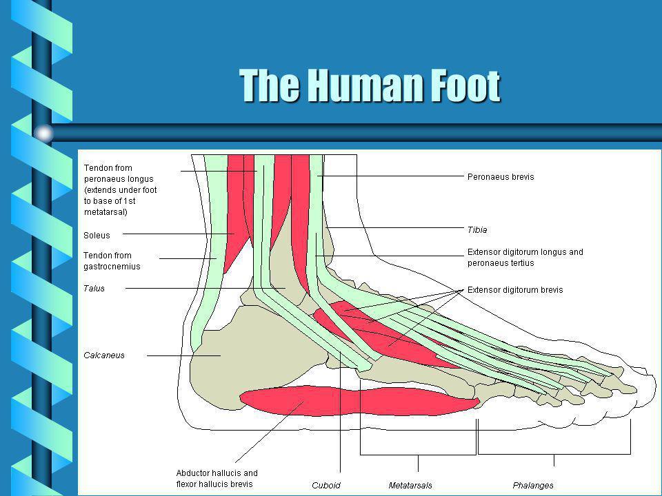 The Human Foot