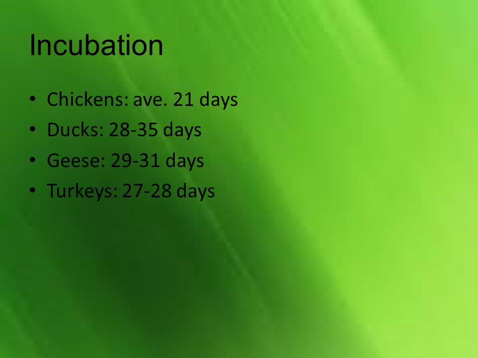 Incubation Chickens: ave. 21 days Ducks: 28-35 days Geese: 29-31 days