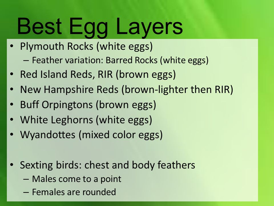 Best Egg Layers Plymouth Rocks (white eggs)