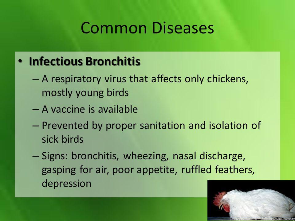 Common Diseases Infectious Bronchitis