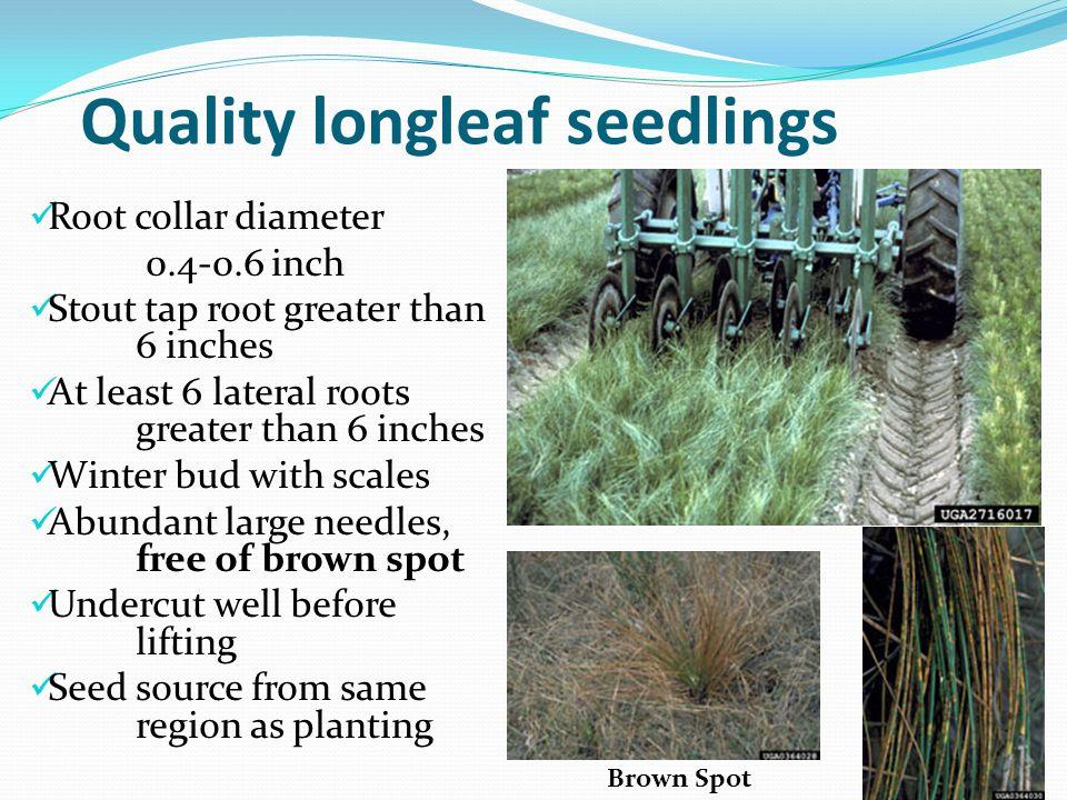 Quality longleaf seedlings