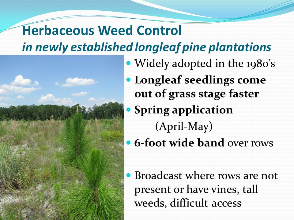 Herbaceous Weed Control in newly established longleaf pine plantations
