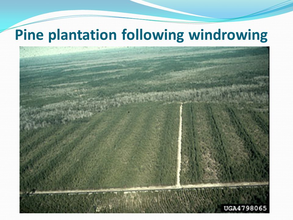 Pine plantation following windrowing