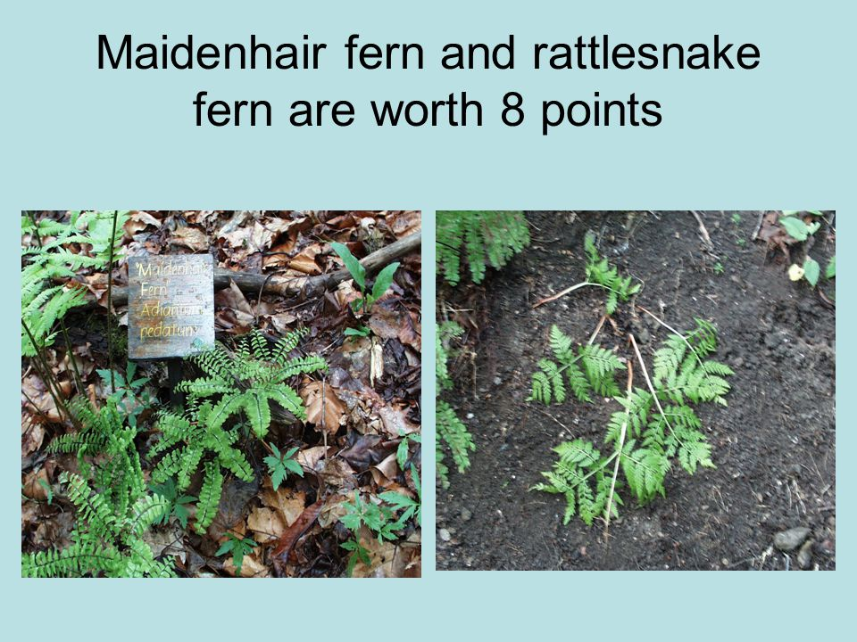 Maidenhair fern and rattlesnake fern are worth 8 points