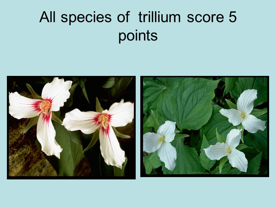 All species of trillium score 5 points