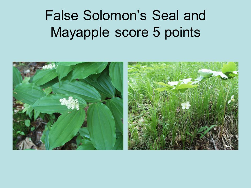 False Solomon's Seal and Mayapple score 5 points
