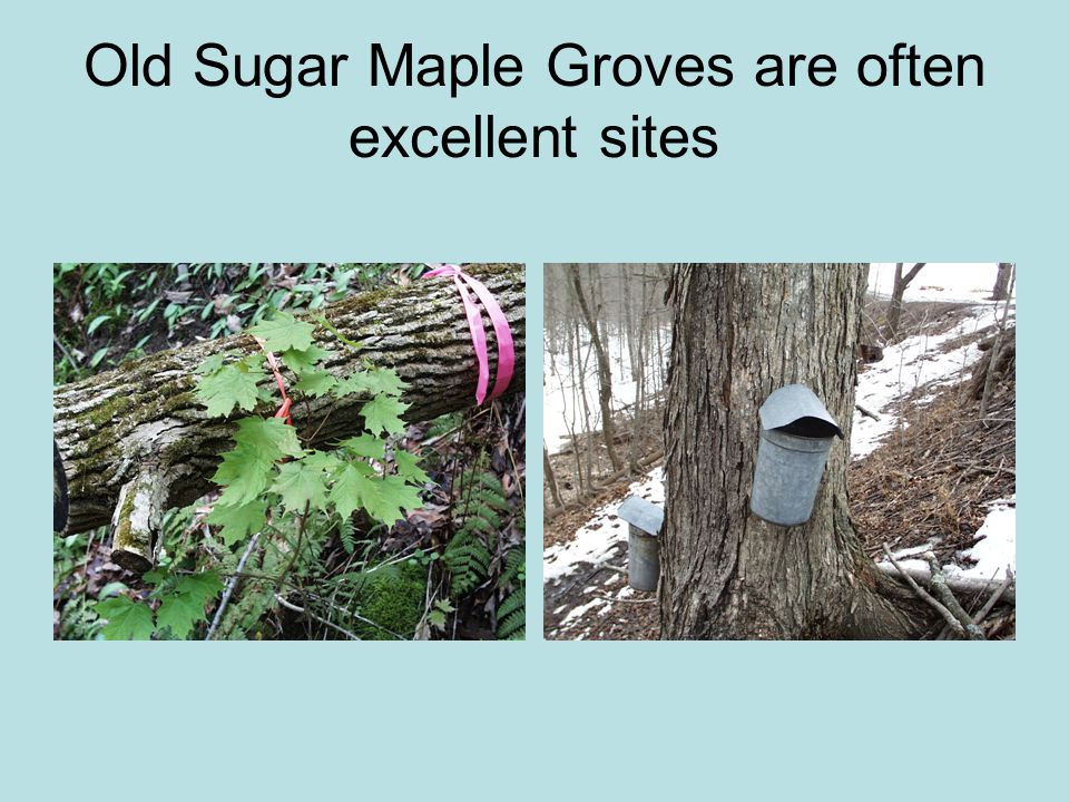 Old Sugar Maple Groves are often excellent sites