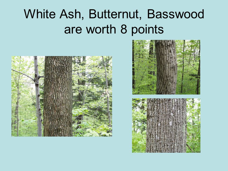 White Ash, Butternut, Basswood are worth 8 points