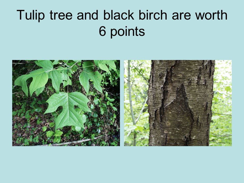 Tulip tree and black birch are worth 6 points