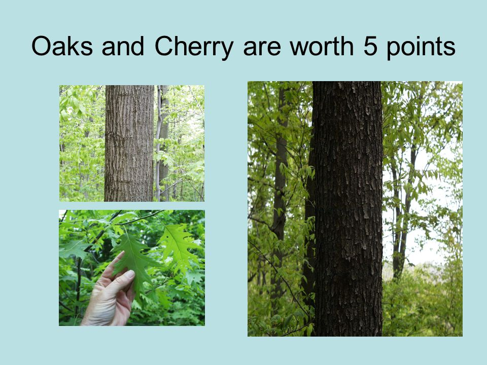 Oaks and Cherry are worth 5 points