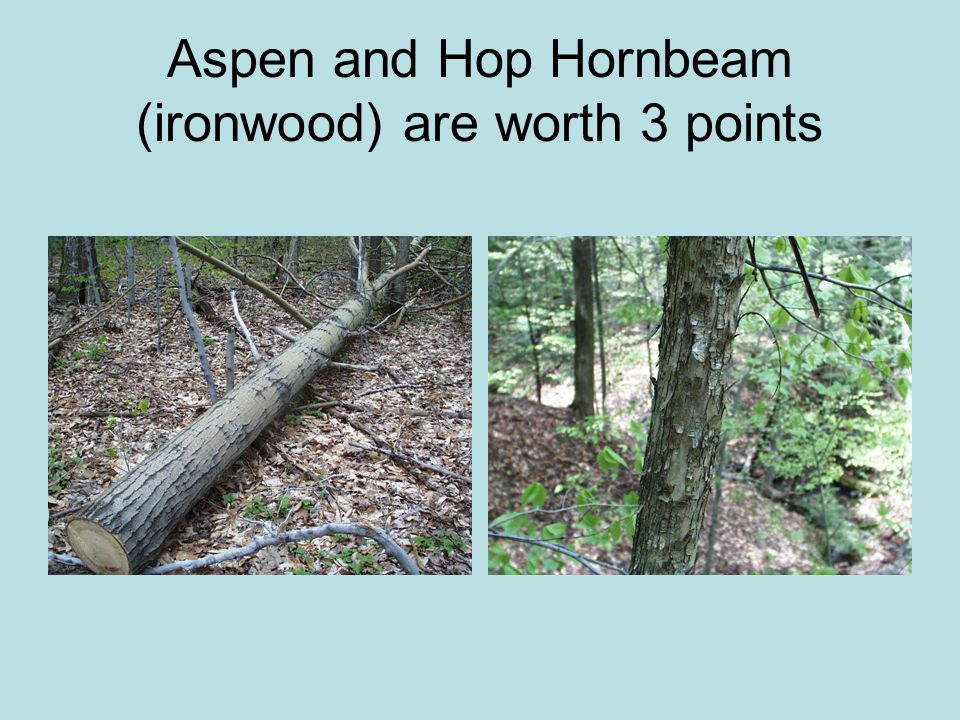 Aspen and Hop Hornbeam (ironwood) are worth 3 points