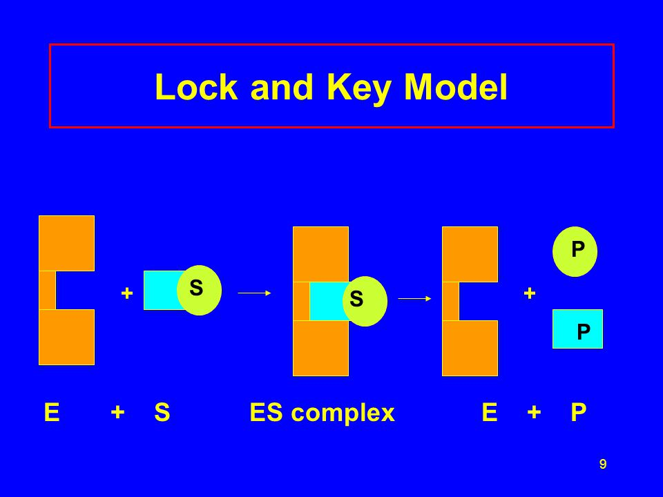 Lock and Key Model + + E + S ES complex E + P P S S P