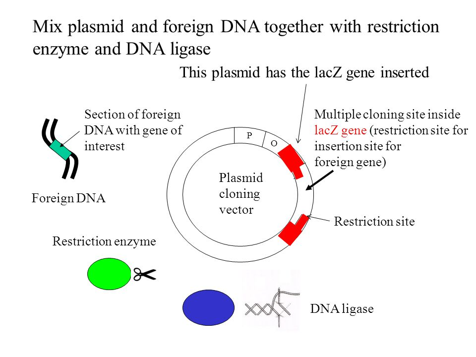 Mix plasmid and foreign DNA together with restriction enzyme and DNA ligase