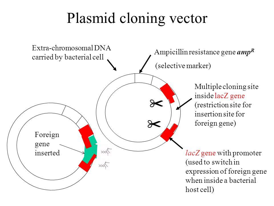 Plasmid cloning vector