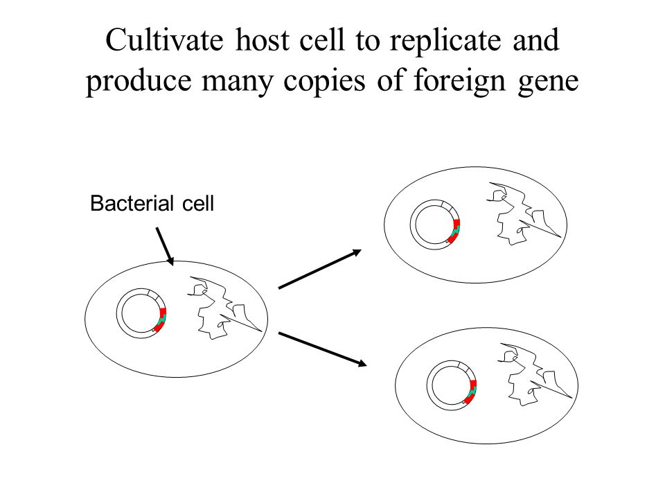 Cultivate host cell to replicate and produce many copies of foreign gene
