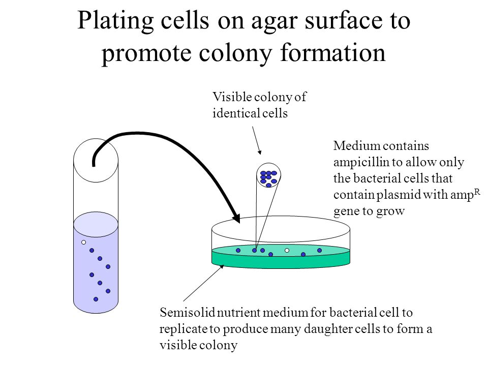 Plating cells on agar surface to promote colony formation