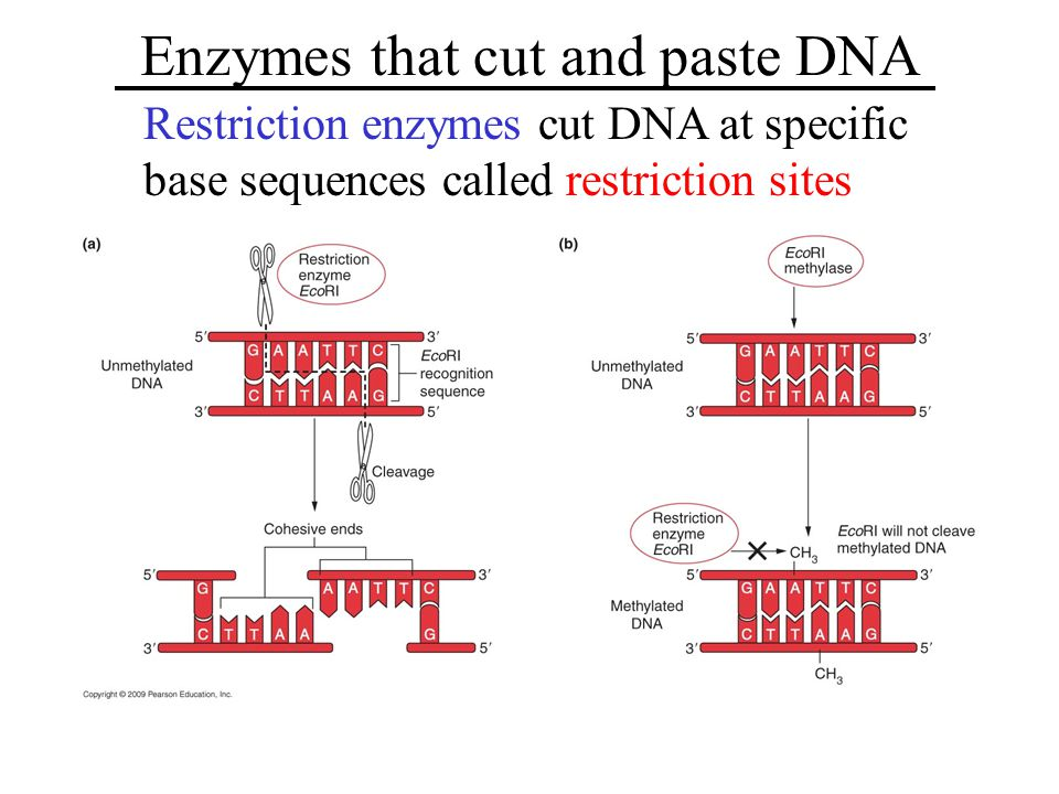 Enzymes that cut and paste DNA