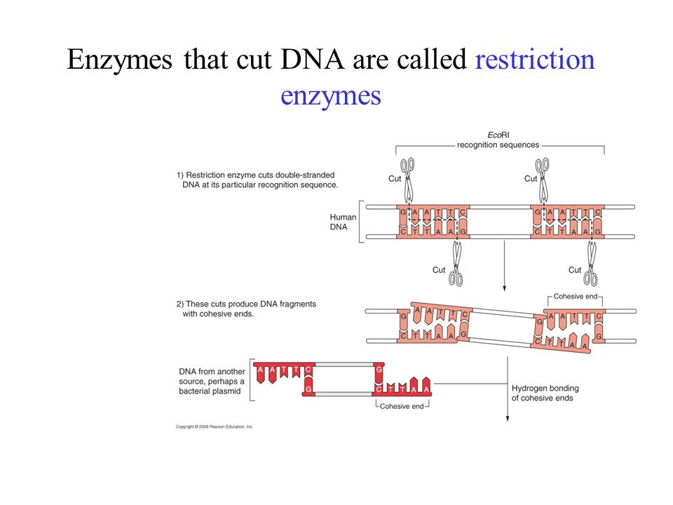 Enzymes that cut DNA are called restriction enzymes