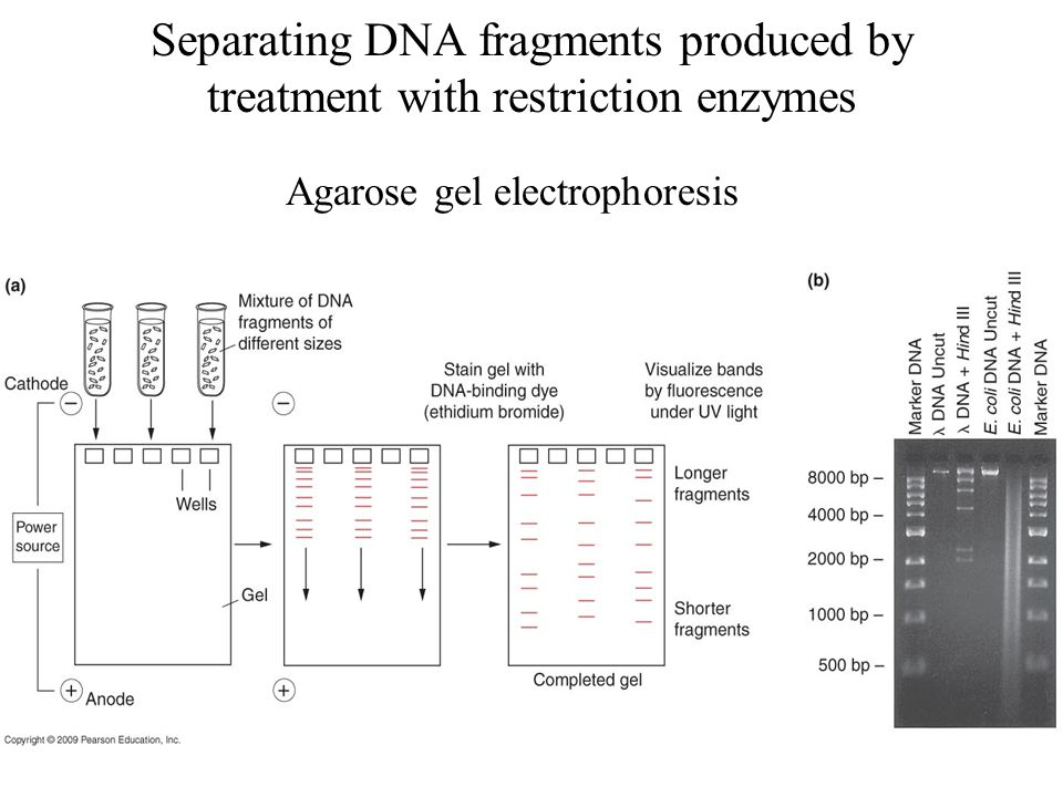 Separating DNA fragments produced by treatment with restriction enzymes