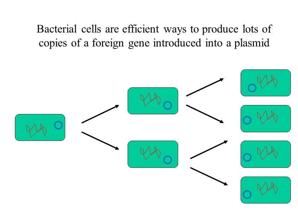Bacterial cells are efficient ways to produce lots of copies of a foreign gene introduced into a plasmid