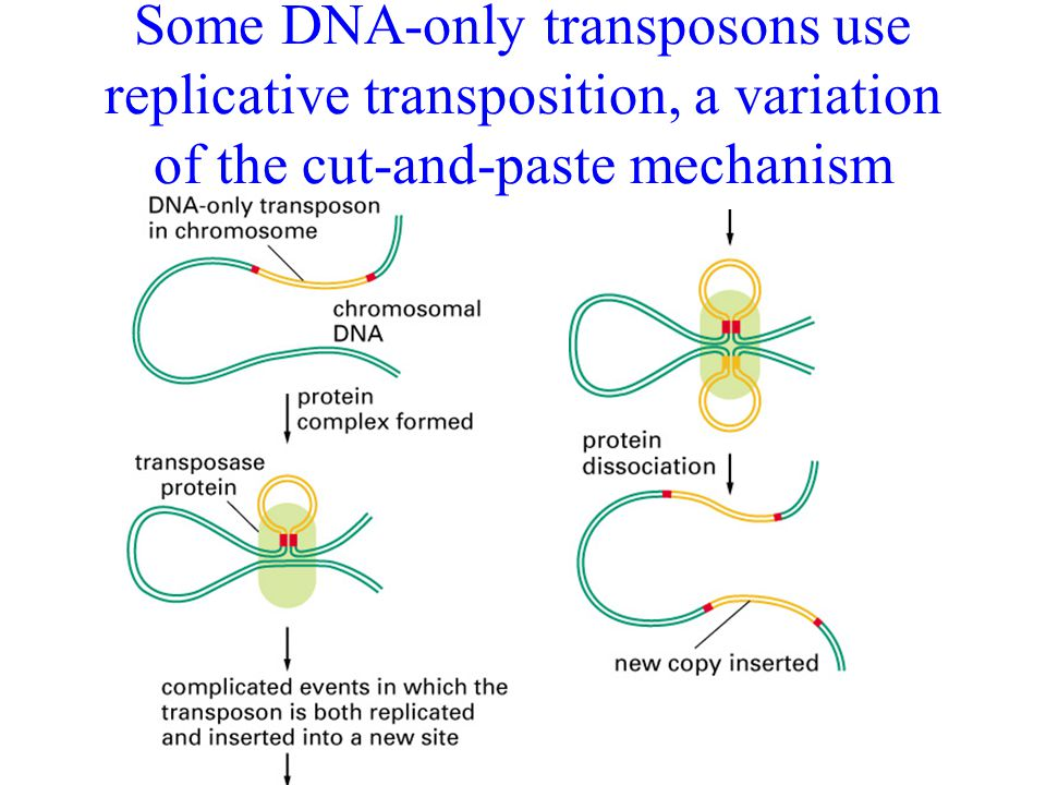 Some DNA-only transposons use replicative transposition, a variation of the cut-and-paste mechanism