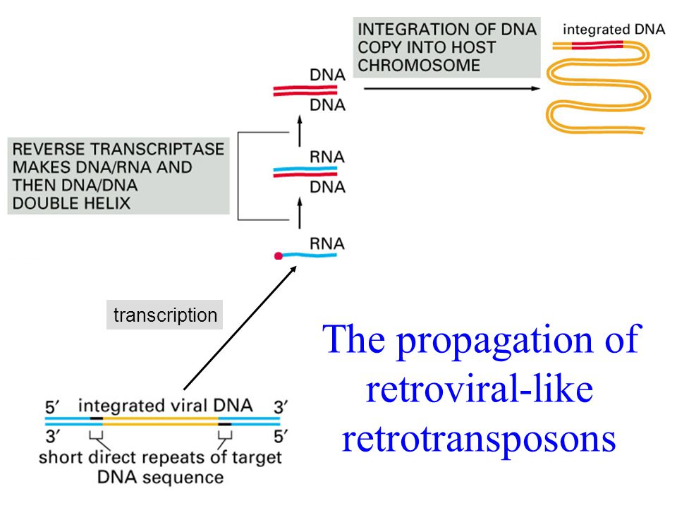 The propagation of retroviral-like retrotransposons