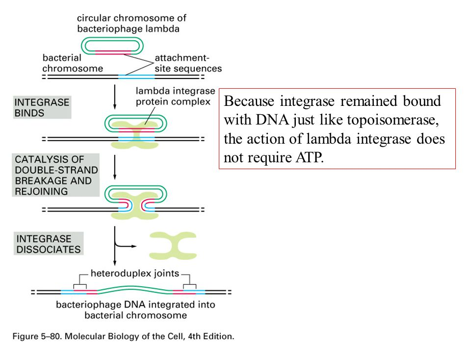 Because integrase remained bound with DNA just like topoisomerase, the action of lambda integrase does not require ATP.