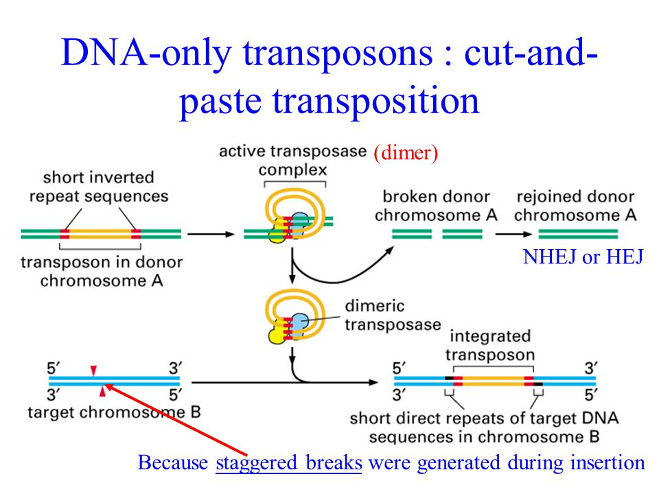 DNA-only transposons : cut-and-paste transposition