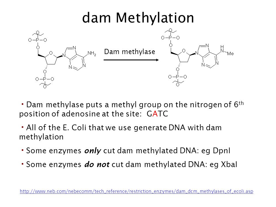 dam Methylation Dam methylase. Dam methylase puts a methyl group on the nitrogen of 6th position of adenosine at the site: GATC.