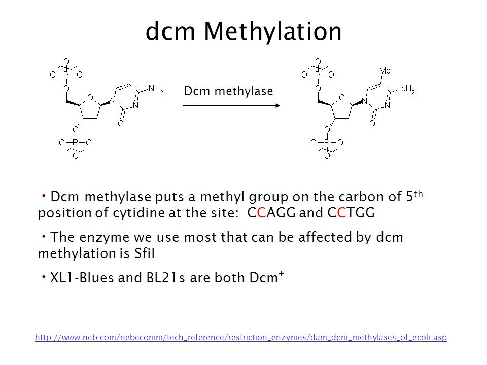 dcm Methylation Dcm methylase. Dcm methylase puts a methyl group on the carbon of 5th position of cytidine at the site: CCAGG and CCTGG.