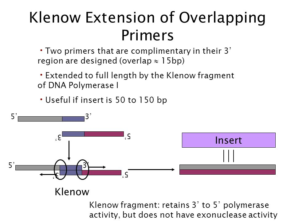 Klenow Extension of Overlapping Primers