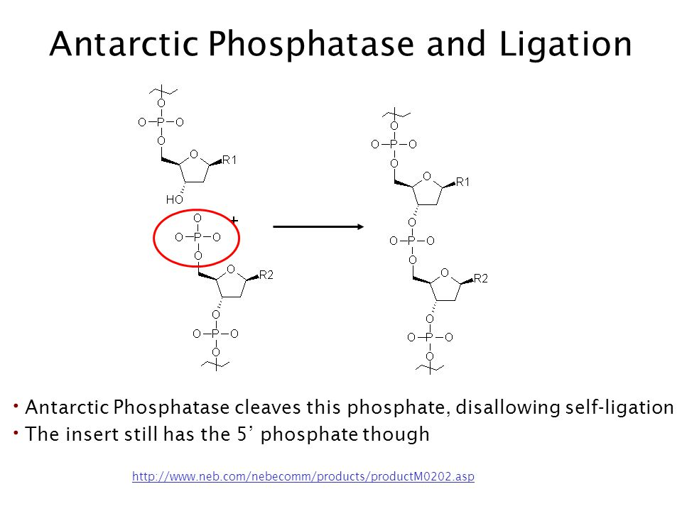 Antarctic Phosphatase and Ligation